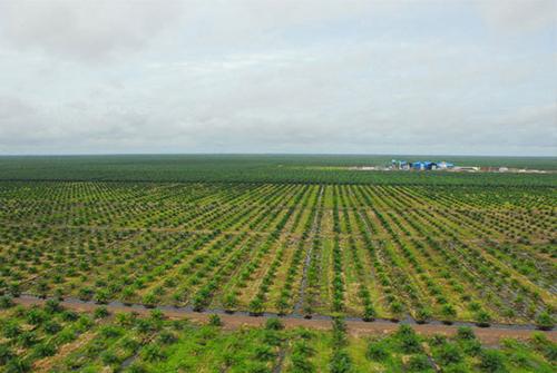 Palm-Tree-Production